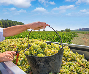 Víno Chardonnay - Název často zaměňovaný s Víno Chardonay. Chardonnay se vždy píše se dvěma N.