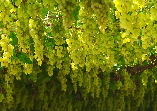 Hrozen vína Irsai Oliver je středně velký, středně hustý až řídký.