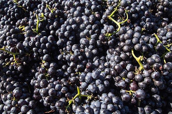 Zweigeltrebe pochází z Rakouska a jde o křížení odrůd Svatovavřinecké a Frankovka.
